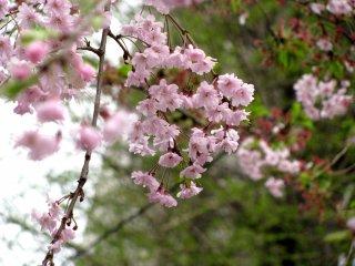 sakura hồng
