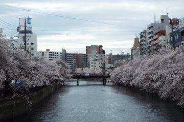 Cherry blossom season along the river