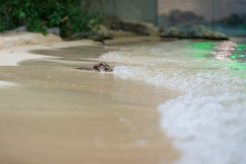 A baby sea turtle sits on the manmade beach enjoying the waves