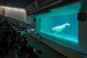 The beluga whale waits to copy the sound of a small child