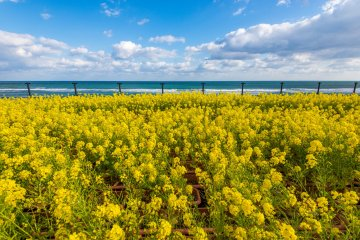 Beautiful canola flowers by the Pacific coast