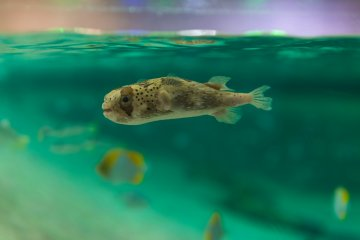 The puffer fish - one of Japan's favorite sea creatures
