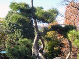 Знаменитая сосна, запечатленная художником Хиросигэ
