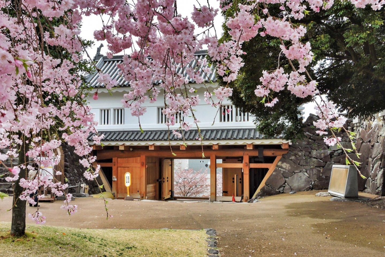 أزهار الساكورا في حديقة قلعة مايزورو في كوفو