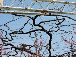 Những cây nho vẫn chưa ra trái