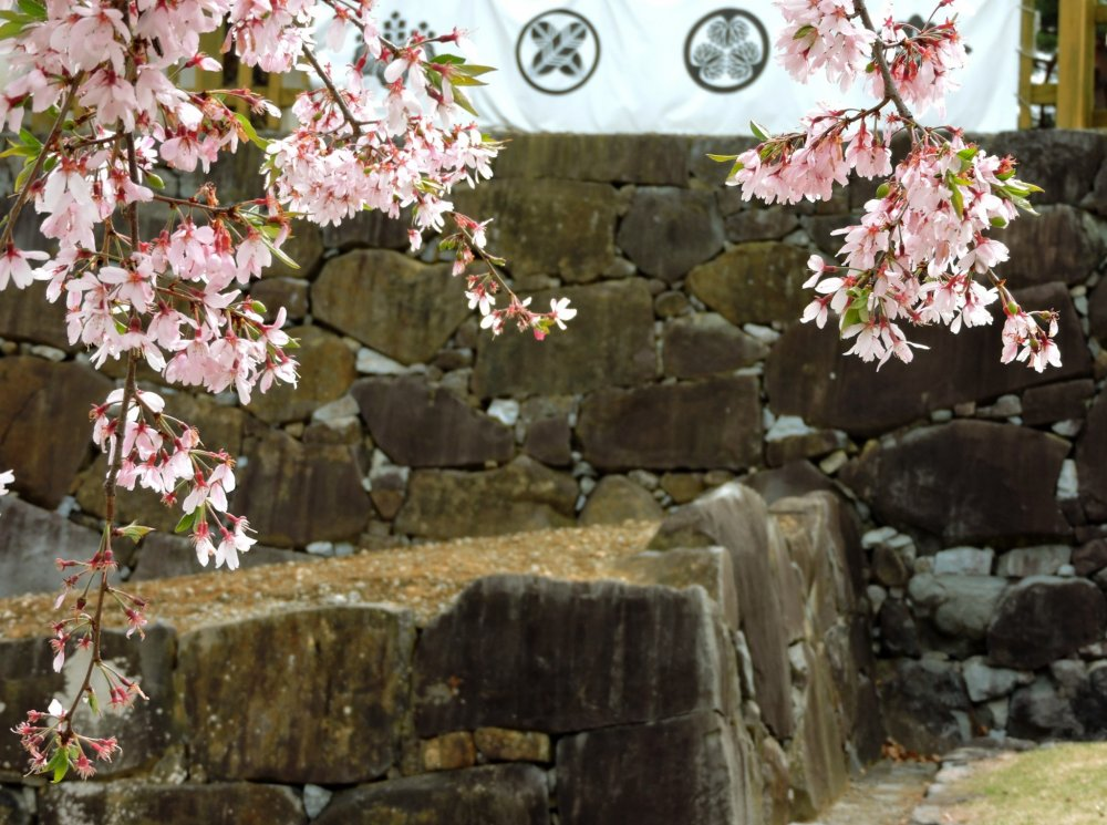 Weeping cherry blossom and stone foundations