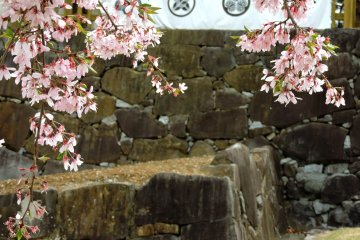 Cherry Blossoms at Kofu Castle