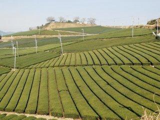 Những cánh đồng xanh mướt của Vườn Trà Trung tâm Yame