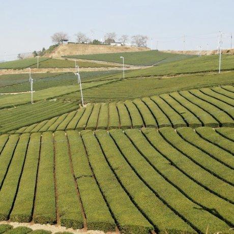 Vườn trà trung tâm Yame