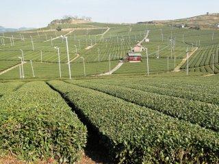 Nhìn gần những bụi trà của Yame
