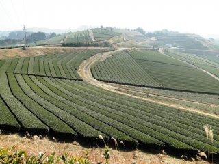 Một sự kết hợp gữa màu sắc và bóng tối trên những cánh đồng trà