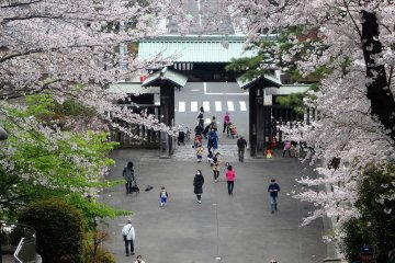 ดอกซากุระที่ Ikegami Honmon-ji