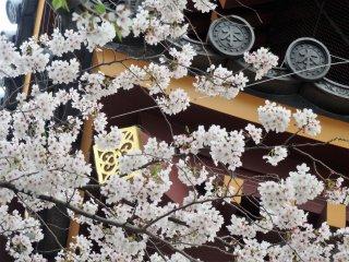 The sakura usually hit their peak in early April