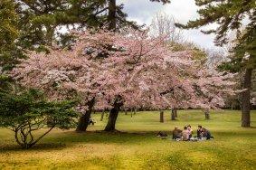 Hoa anh đào ở công viên Beppu