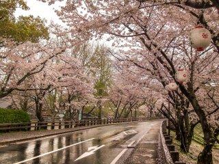Vô số cây mai anh đào dọc con đường chính dẫn đến Thành cổ Kumamoto