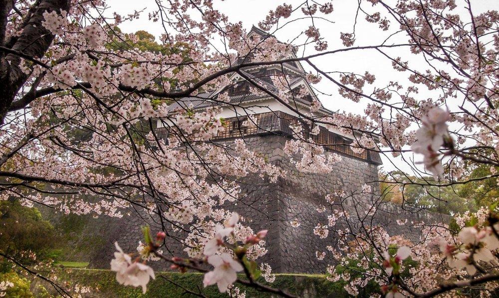 Tòa thành được bao phủ bởi những bông hoa anh đào rực rỡ