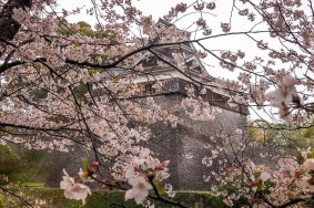Flores de Cerejeira no Castelo de Kumamoto
