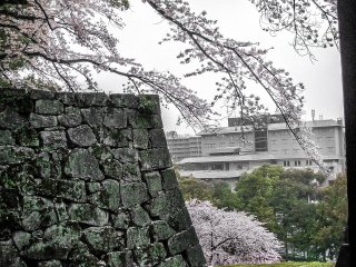 Some colorful cherry blossom covering the outer castle walls