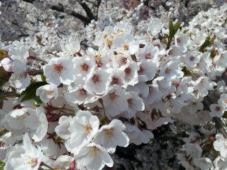Cherry blossoms in Tono