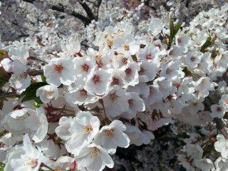 Cherry blossoms in Tono
