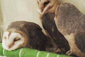 Barn owls at rest