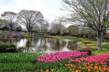 เทศกาลดอกไม้ 2017 ที่ Showa Memorial Park