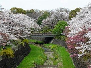ซากุระกว่า 1500 ต้นในสวนบานกันเต็มที่ในช่วงต้นเดือนเมษายน