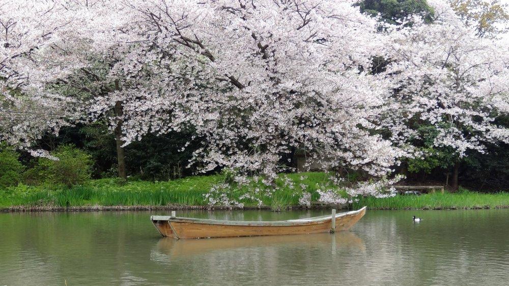 สีชมพูดารดาษไปทั่วสวนสวยแห่งโยโกฮะมะ