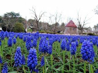 ทุ่ง grape hyacinth