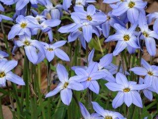 ดอก triteleia