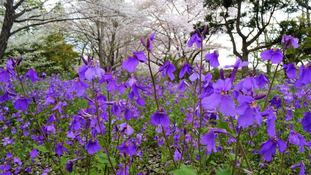ดอก  Chinese Violet Cress เป็นสีม่วงที่งดงามมาก