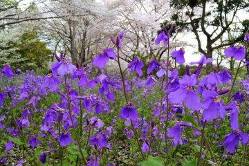 นานาดอกไม้ของสวน Showa Memorial Park