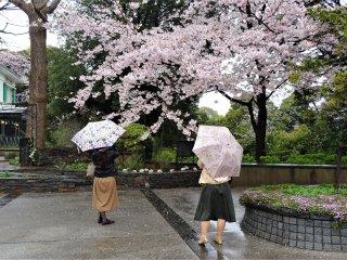 ดอกซากุระและดอกร่ม