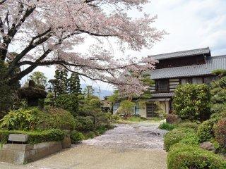 บ้านหลังเก่ากับดอกซากุระ