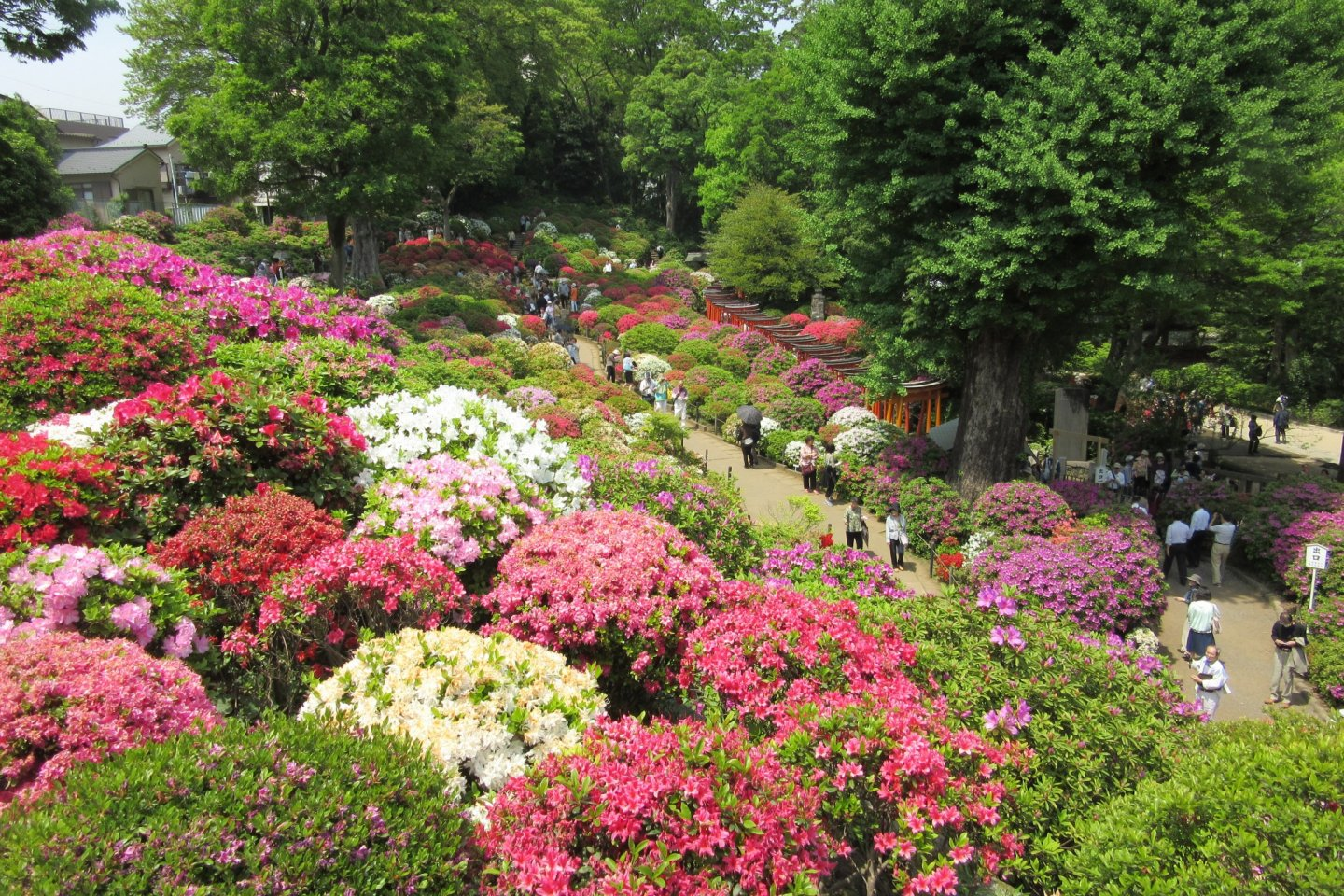Grand view of the azalea garden