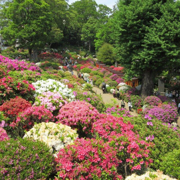 Bunkyo Azalea Festival 2021 April May Events In Tokyo Japan Travel