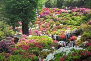 The number of azalea bushes is really impressive!