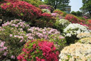 Azalea of all colors and kinds