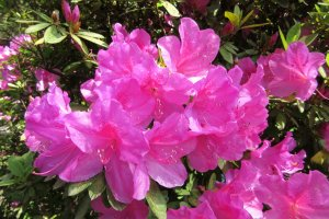 The most common color of azalea