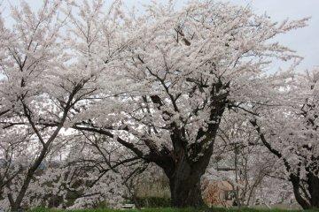 По всему городу растут великолепные сакуры