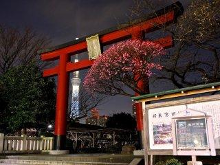 Kameido Ten Jinja during Ume Matsuri (Plum Blossom Festival)