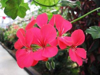 Une fleur écarlate