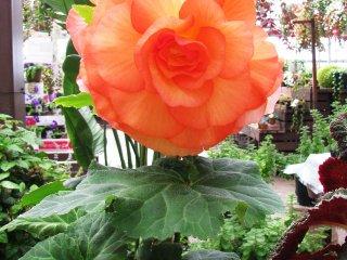 Cette variété de fleur bénéficiait d'une exposition spéciale