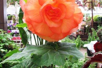 Выставка одного вида цветов, похожего на розу