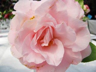 Un rose charmant