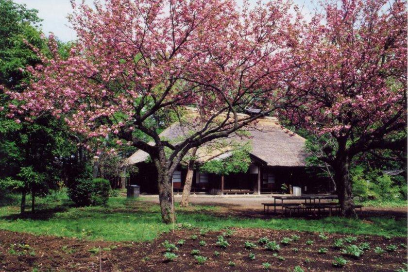 An Edo farmstead surrounded by sakura