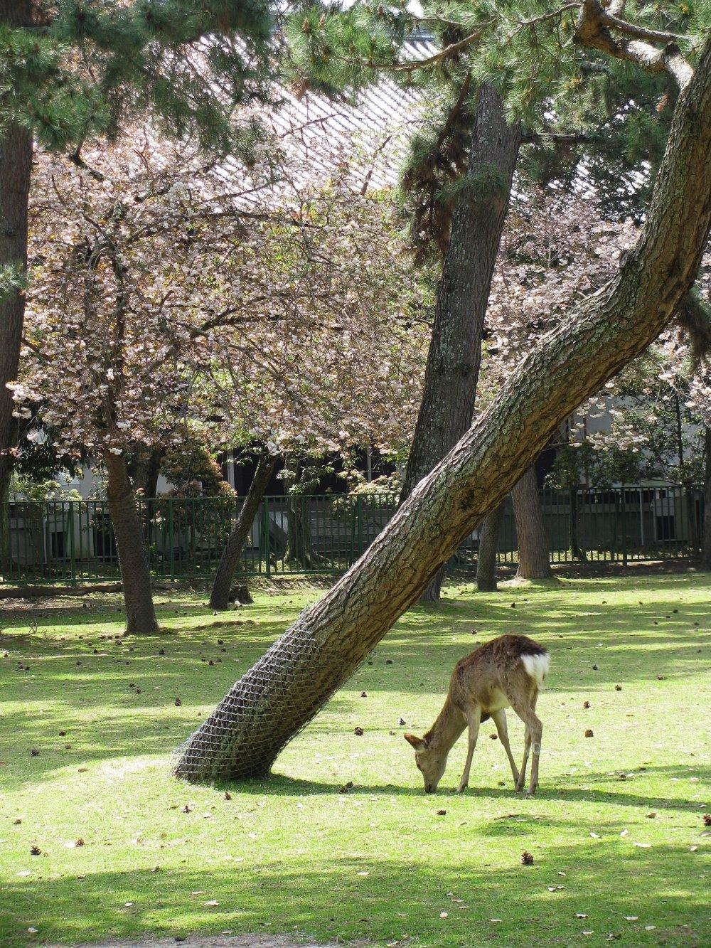 Wild Sika deer in Nara, Japan. Nara is a major tourism destination ...