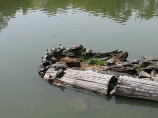 Many turtles in the pond