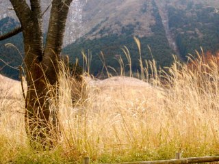 Pampas grass along the road from Sengokuhara