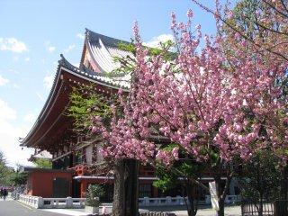 Sakura near Asakusa jinja